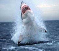 ...результаты, полученные путём точных измерений.  Акула из Нью-Брансуик.